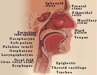 Sinuses  Nasal  Allergies